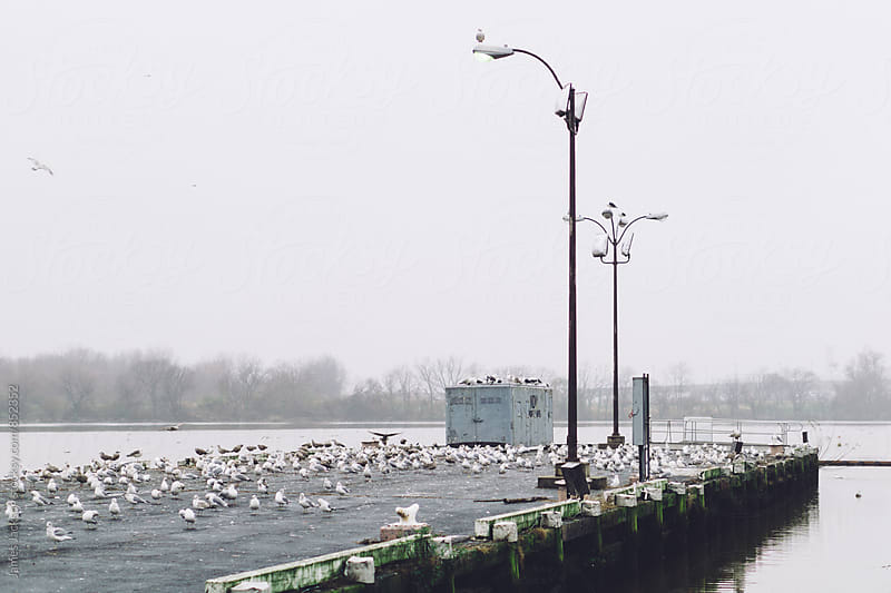 Large flock of seagulls on a dirty pier in a foggy river by James Jackson for Stocksy United