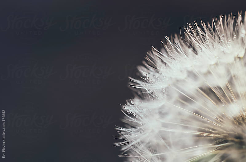 Dandelion with dew drops. by Eva Plevier for Stocksy United