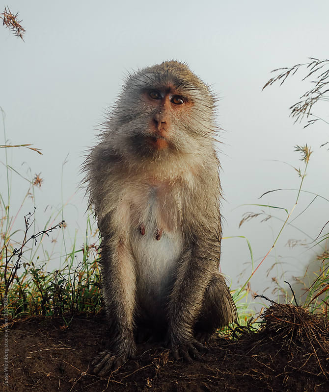 Beautiful Wild Mother Monkey by Jesse Weinberg for Stocksy United
