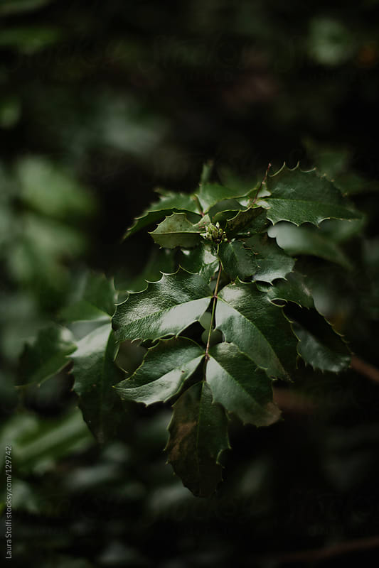 Close up of holly leaves on branch on tree by Laura Stolfi for Stocksy United