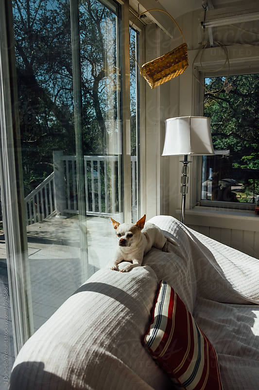 A white chihuahua boston terrier mix puppy sitting on a couch in the sunlight by J Danielle Wehunt for Stocksy United