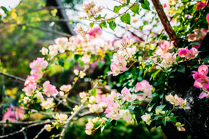 Beautiful, bright, pink blossoms in the sun by Claudia Lommel for Stocksy United