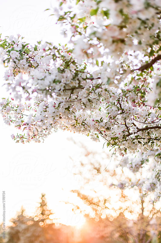 The setting sun on a tranquil spring evening framed by blooming trees. by Holly Clark for Stocksy United