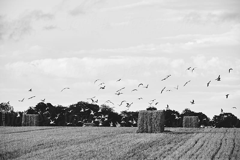 Flock of gulls taking off from a field of bales. Norfolk, UK. by Liam Grant for Stocksy United
