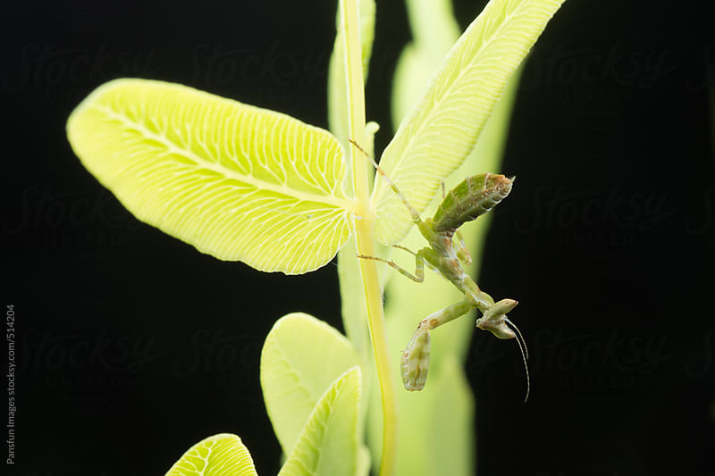 Common flower mantis baby by Pansfun Images for Stocksy United