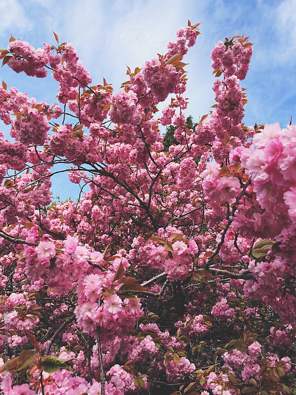 bright pink Flower in spring time by Jesse Morrow for Stocksy United