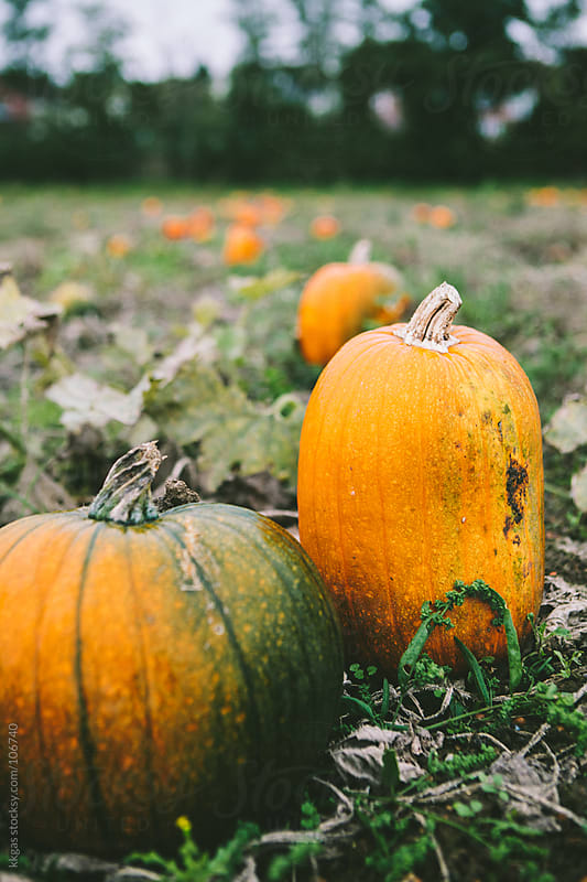 Pumpkins ready to be harvested in a field. by kkgas for Stocksy United