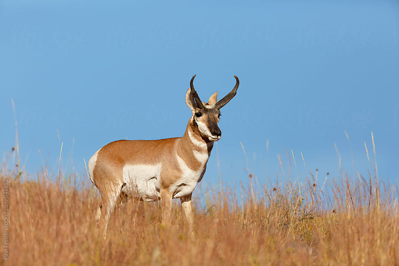 Pronghorn Antelope by Paul Tessier for Stocksy United