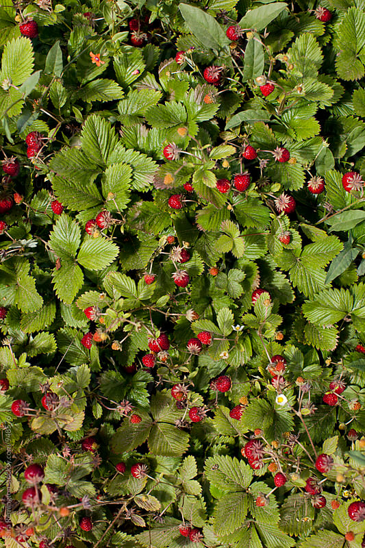 Delicious Wild Strawberries by Sara Remington for Stocksy United