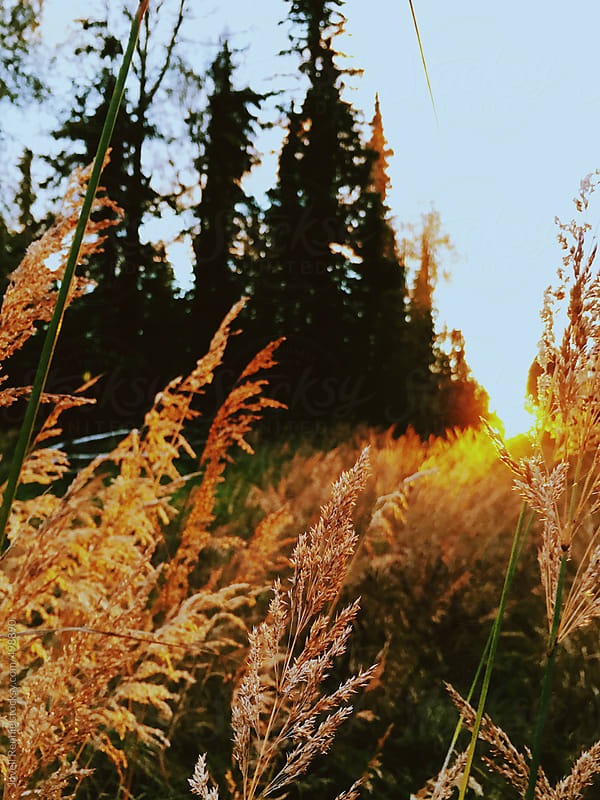 Fireweed Sunsets by Jovell Rennie for Stocksy United