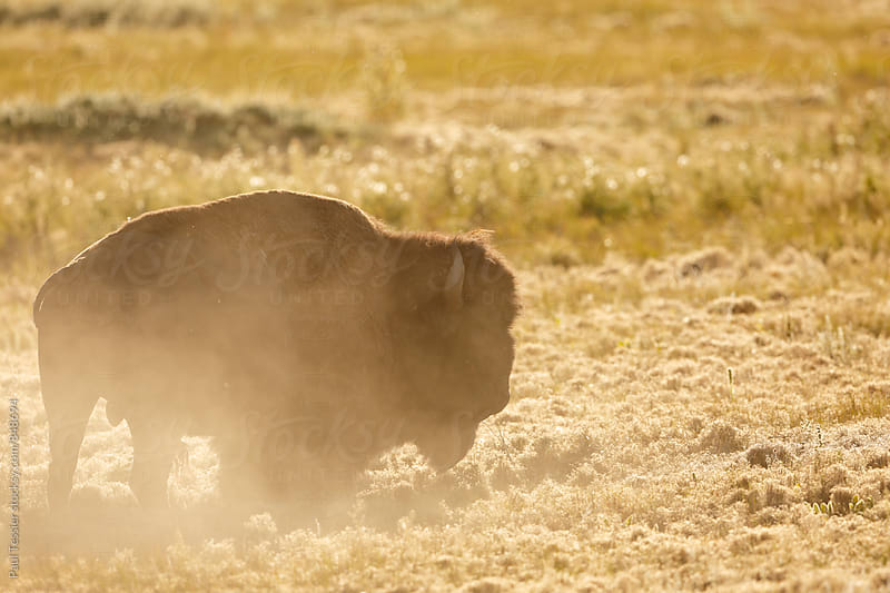 American Bison by Paul Tessier for Stocksy United