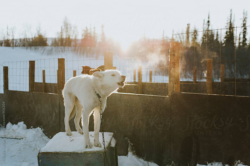 Alaska Dog by Kristian Lynae Irey for Stocksy United