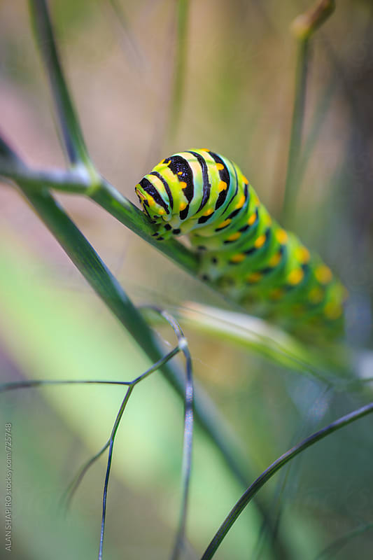 Monarch Caterpillar by alan shapiro for Stocksy United