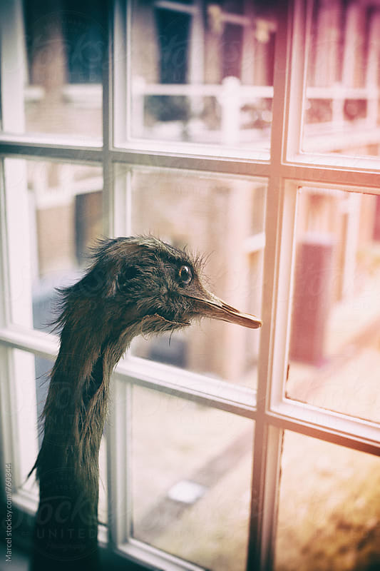 Old stuffed ostrich looking out the window by Marcel for Stocksy United