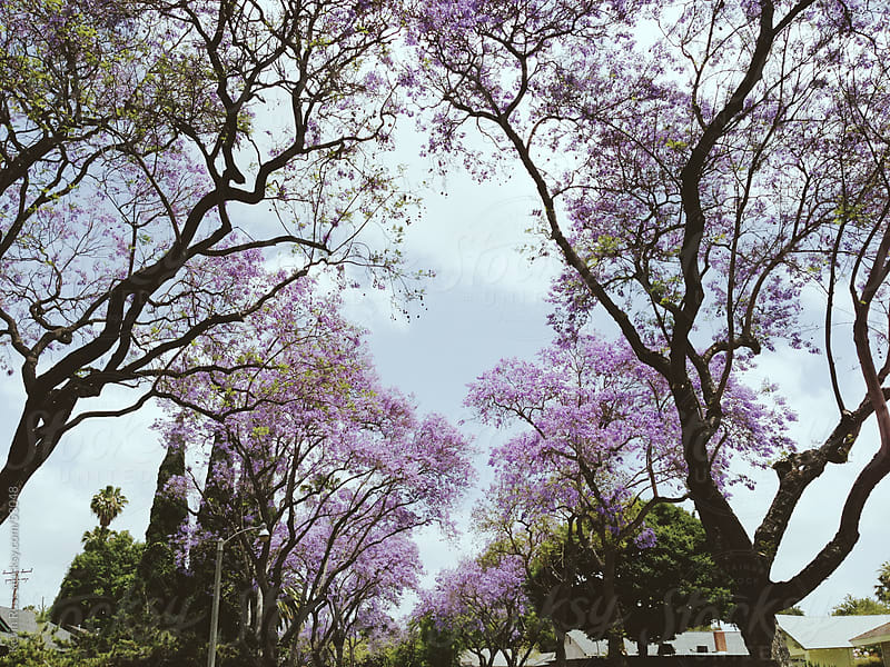 Jacaranda Lined Neighborhood Street by Kevin Russ for Stocksy United