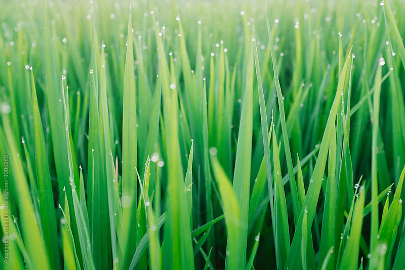 Dew On A Green Grass by Alexander Grabchilev for Stocksy United