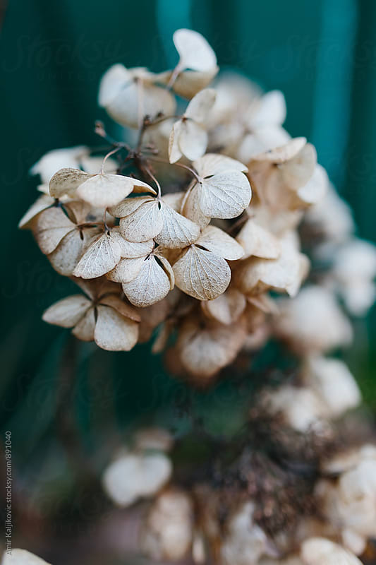 Close up of pale little flowers by Amir Kaljikovic for Stocksy United