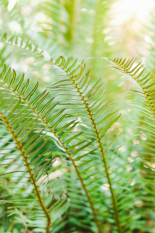 sword fern by Cameron Zegers for Stocksy United