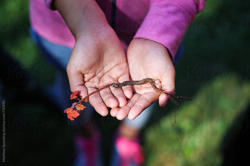 Small maple tree and roots in child's hands by Matthew Spaulding for Stocksy United