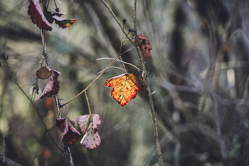 Poison Oak leaf back lit by sunlight by Amy Covington for Stocksy United