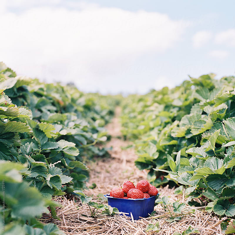 A blue basket of red sun-ripened strawberries in the field by Atle Rønningen for Stocksy United