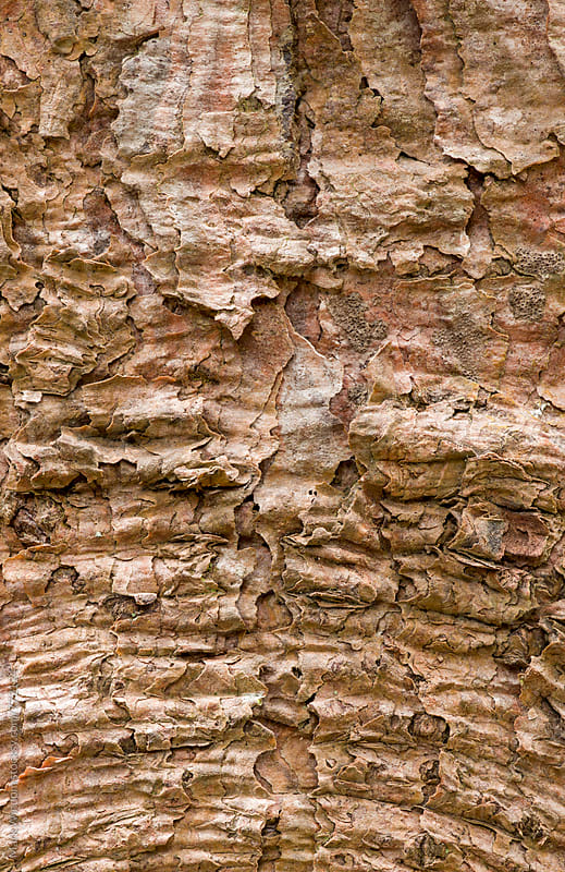 Spruce bark textures, closeup by Mark Windom for Stocksy United
