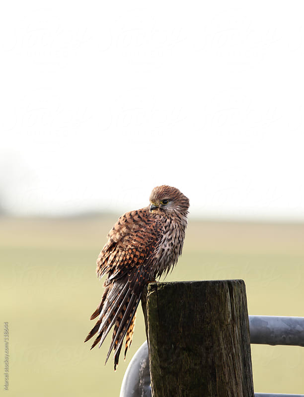Female common kestrel  by Marcel for Stocksy United
