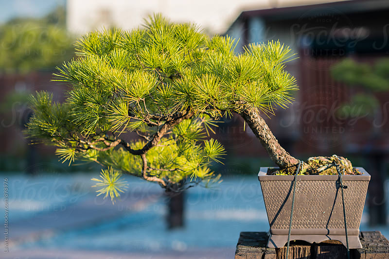 Pine tree in plant pot in garden by Lawren Lu for Stocksy United