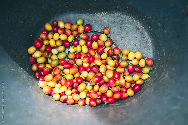 Harvested coffee beans by Richard Brown for Stocksy United