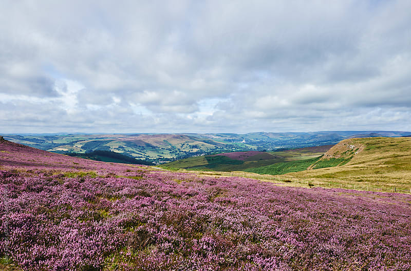 Heather on Higger Tor. Derbyshire, UK. by Liam Grant for Stocksy United