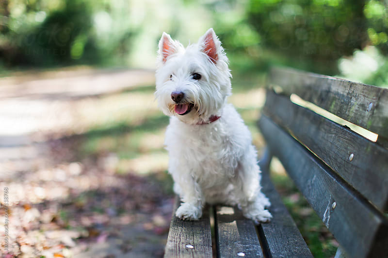 An alert white dog sitting on a park bench by Jakob for Stocksy United