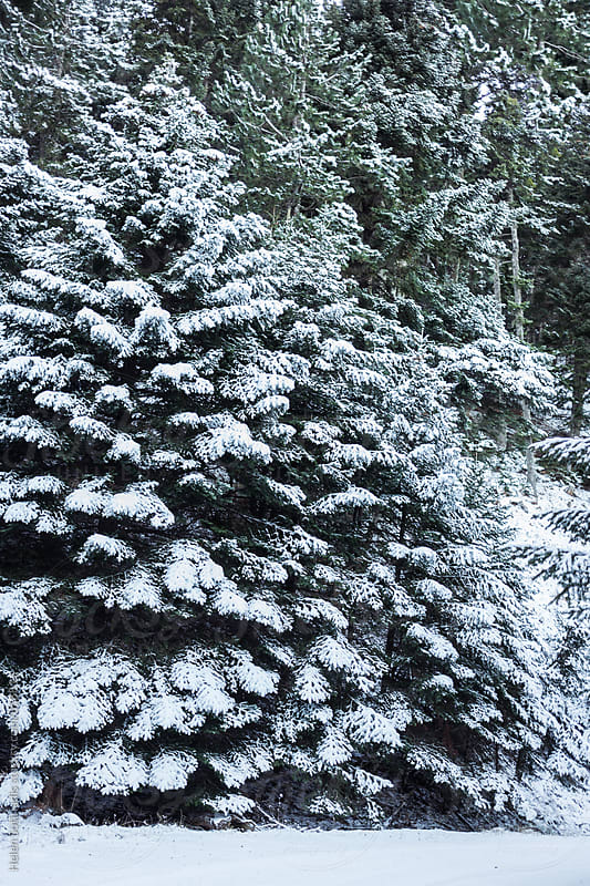 Coniferous Trees in the Snow by Helen Sotiriadis for Stocksy United