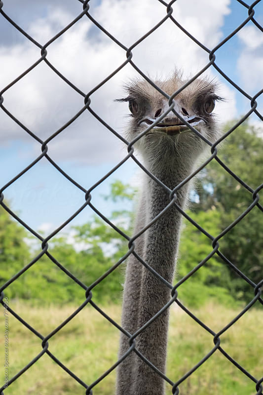 Ostrich behind a fence stares at the viewer by Rebecca Spencer for Stocksy United