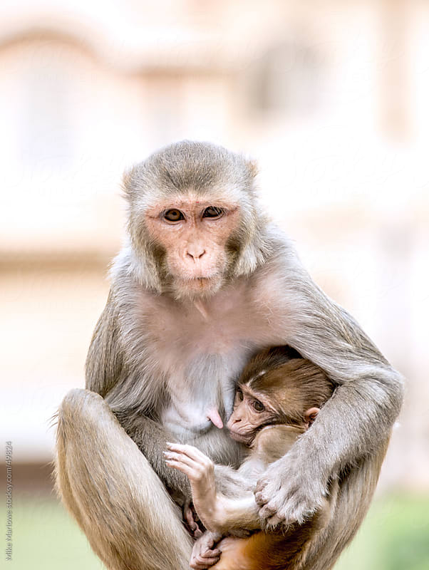 A mother and baby monkey by Mike Marlowe for Stocksy United