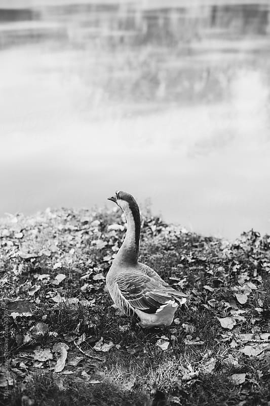 Goose by Tatjana Zlatkovic for Stocksy United