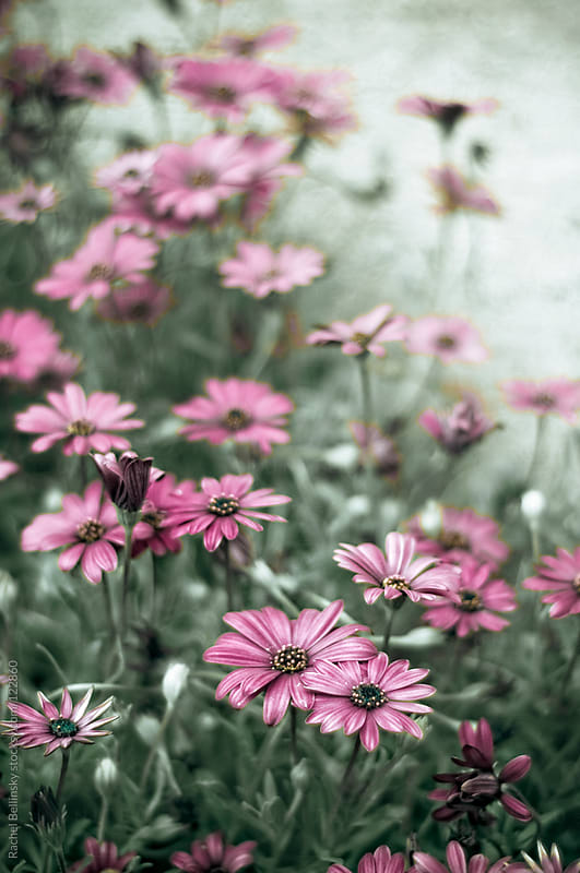 Magenta daisies in green grass fading into a pale distance by Rachel Bellinsky for Stocksy United