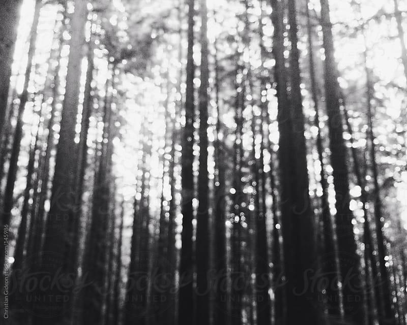 Blurry Redwoods near Santa Cruz, CA by Christian Gideon for Stocksy United