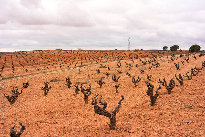 Vineyard landscape by Carles Rodrigo Monzo for Stocksy United