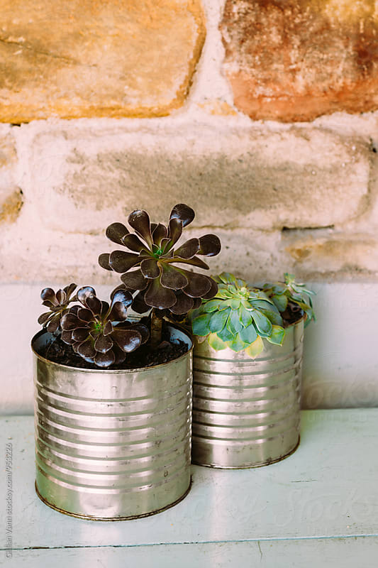 succulent in  tin cans by Gillian Vann for Stocksy United