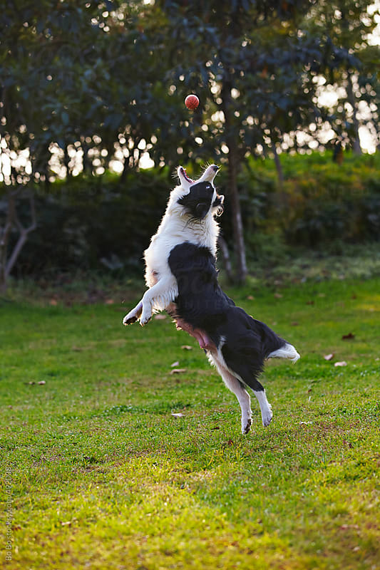 one adult border collie playing outdoor in the park by Bo Bo for Stocksy United