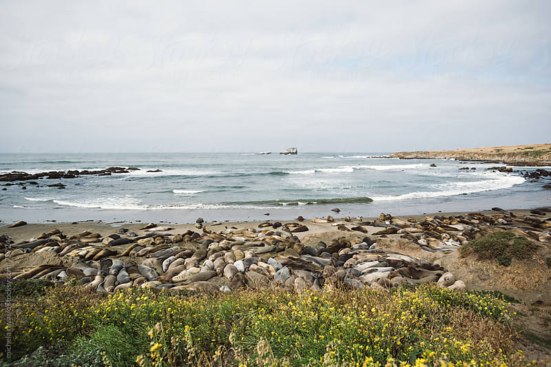 Sea lions coming to shore to molt, on the coast of California by michela ravasio for Stocksy United