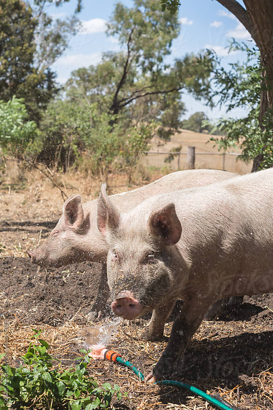 pigs enjoying the sprinkler on a hot summer day by Gillian Vann for Stocksy United