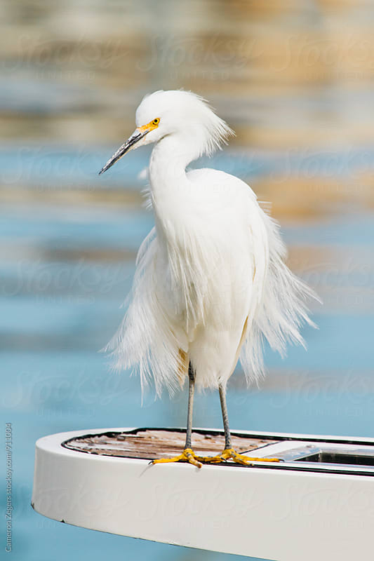 white heron on a boat by Cameron Zegers for Stocksy United