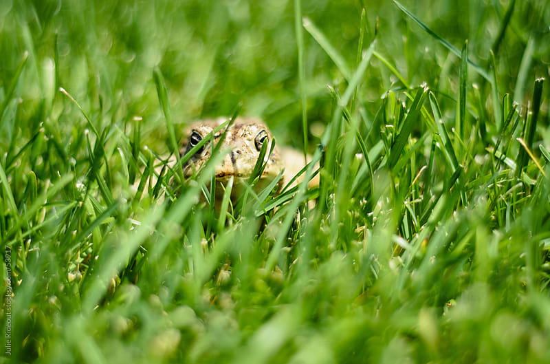 Toad hiding in the grass by Julie Rideout for Stocksy United