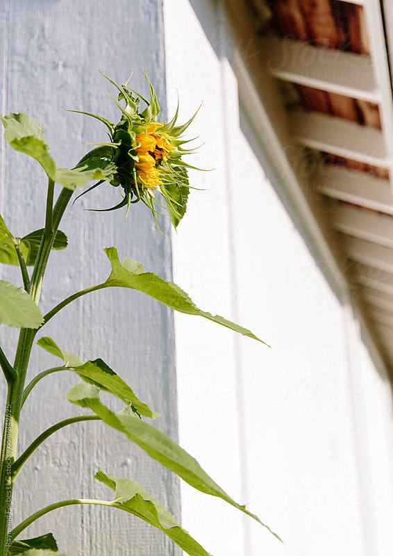 Sunflower by Raymond Forbes LLC for Stocksy United