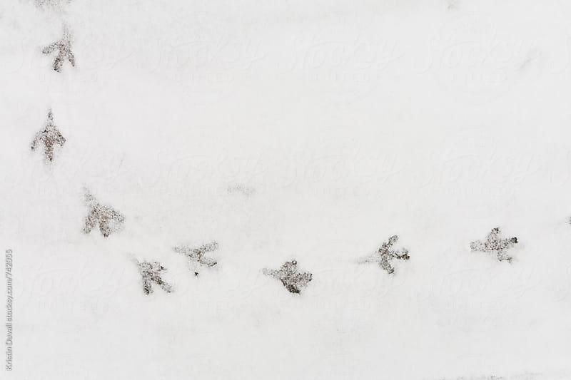 Bird tracks in snow by Kristin Duvall for Stocksy United