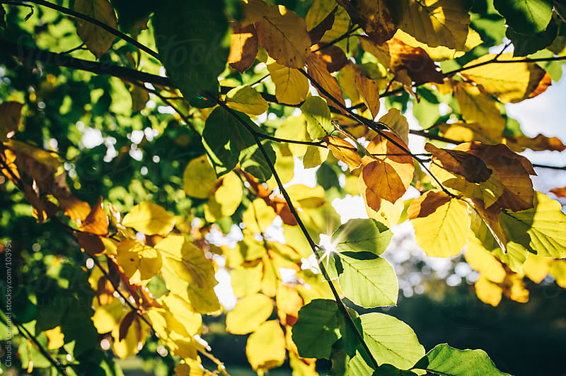 Sunflare through Autumnal Leaves by Claudia Lommel for Stocksy United