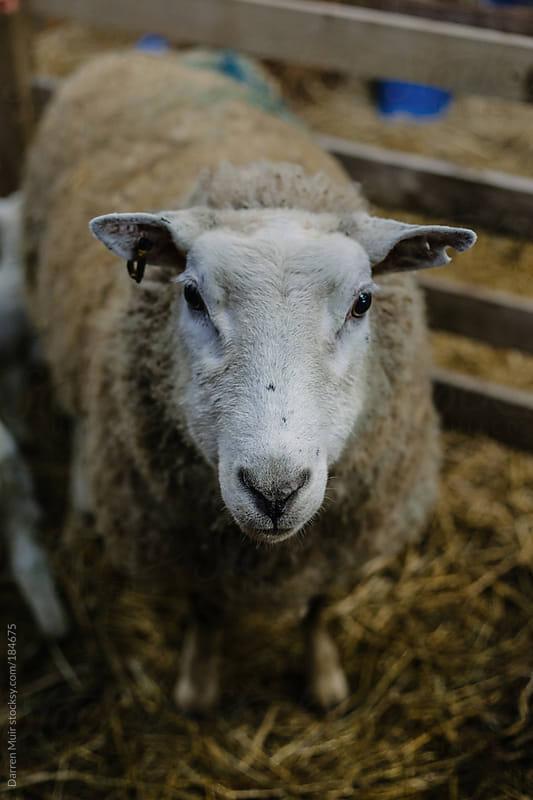 Mother ewe stair down.  by Darren Muir for Stocksy United