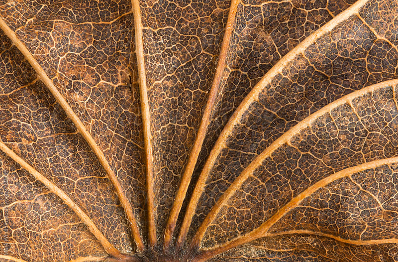 Decaying maple leaf in Autumn, closeup by Mark Windom for Stocksy United