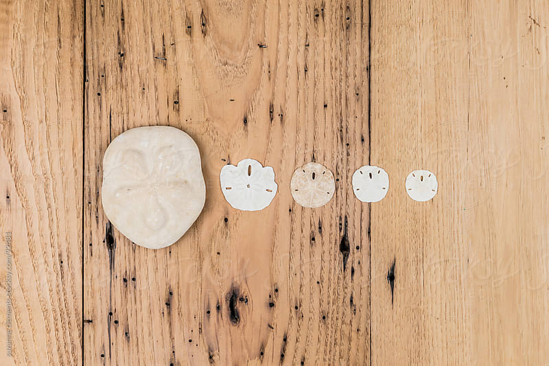 Collection of Ocean Sand Dollars by suzanne clements for Stocksy United